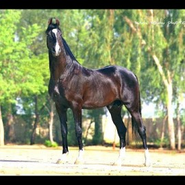 Marwari Stallion Kohinoor morning exercise at stable